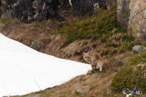 Erwischt. Ein Fuchs in freier Natur.